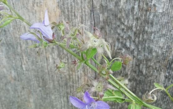 Berg-Skabiose Dauerblüher mit reicher Blüte Scabiosa japonica /'Pink Diamonds/'